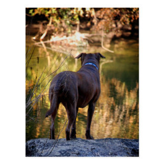 Chocolate Lab Pit Mix Dog Serene Postcard