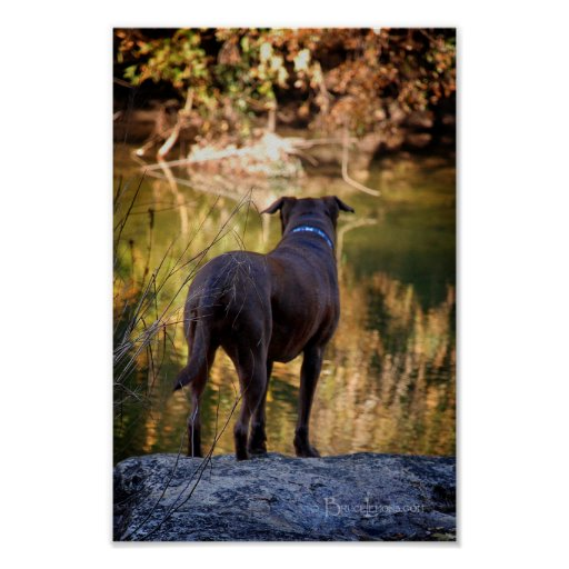 Chocolate Lab Pit Mix Dog Serene Posters