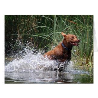 Chocolate Lab Pit Mix Dog Splashing 2 Card