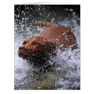 Chocolate Lab Pit Mix Dog Splashing 3 Card
