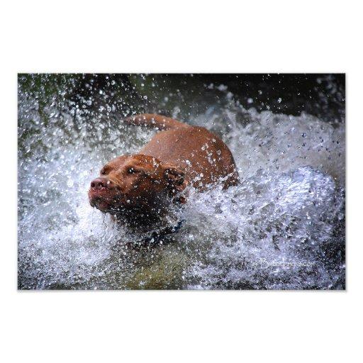 Chocolate Lab Pit Mix Dog Splashing 3 Photographic Print