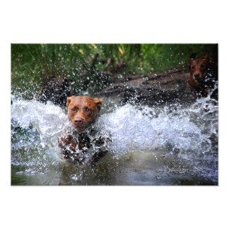 Chocolate Lab Pit Mix Dog Splashing 4 Art Photo