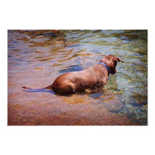 Chocolate Lab Pit Mix Dog Swimming 10 Photograph
