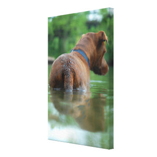 Chocolate Lab Pit Mix Dog Swimming 4 Canvas Print