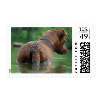 Chocolate Lab Pit Mix Dog Swimming 4 Postage