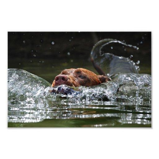 Chocolate Lab Pit Mix Dog Swimming 5 Photographic Print