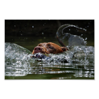 Chocolate Lab Pit Mix Dog Swimming 5 Poster