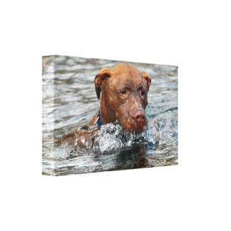 Chocolate Lab Pit Mix Dog Swimming 7 Canvas Print