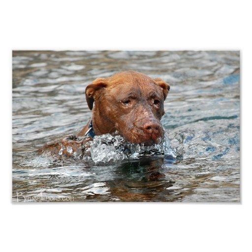 Chocolate Lab Pit Mix Dog Swimming 7 Photo Art