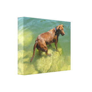 Chocolate Lab Pit Mix Dog Swimming Canvas Print