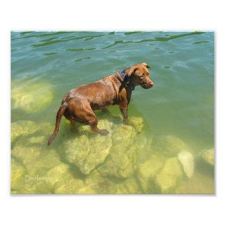 Chocolate Lab Pit Mix Dog Swimming Art Photo