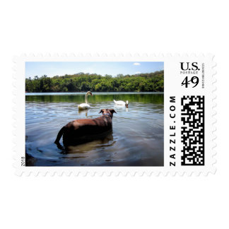 Chocolate Lab Pit Mix Dog Swimming With Swans Postage
