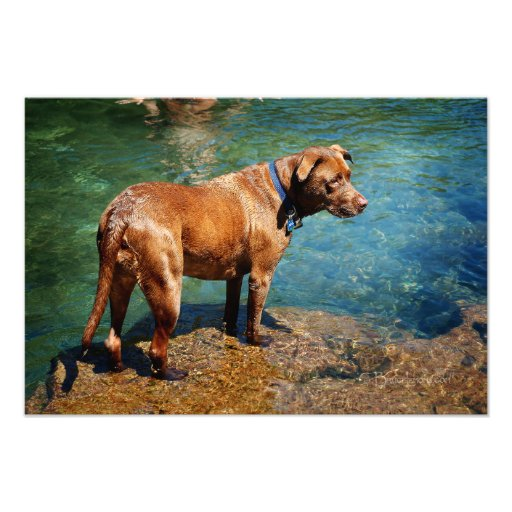 Chocolate Lab Pit Mix Dog Wading 2 Photo Art