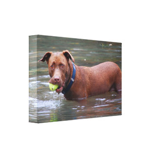 Chocolate Lab Pit Mix Dog With Ball Canvas Print