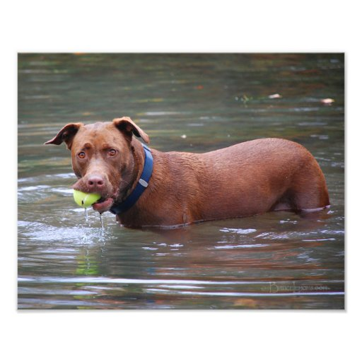 Chocolate Lab Pit Mix Dog With Ball Photographic Print