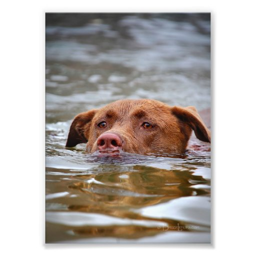 Chocolate Lab Pit Mix Puppy Dog Swimming Photo Print