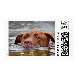 Chocolate Lab Pit Mix Puppy Dog Swimming Postage