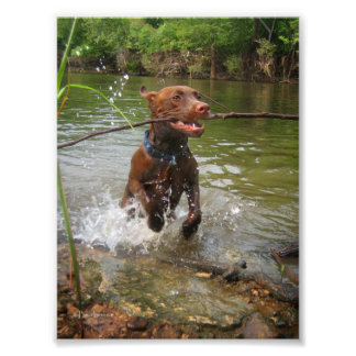 Chocolate Lab Pit Puppy at Play 2 Photo Print