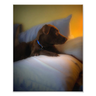 Chocolate Lab Pit Puppy at Rest Photo Print