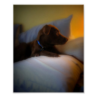 Chocolate Lab Pit Puppy at Rest Poster