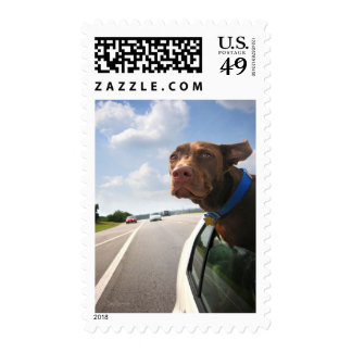 Chocolate Lab Pit Puppy Backseat Driver Postage Stamp