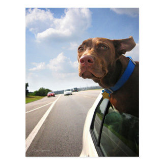 Chocolate Lab Pit Puppy Backseat Driver Post Cards