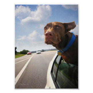 Chocolate Lab Pit Puppy Backseat Driver Poster