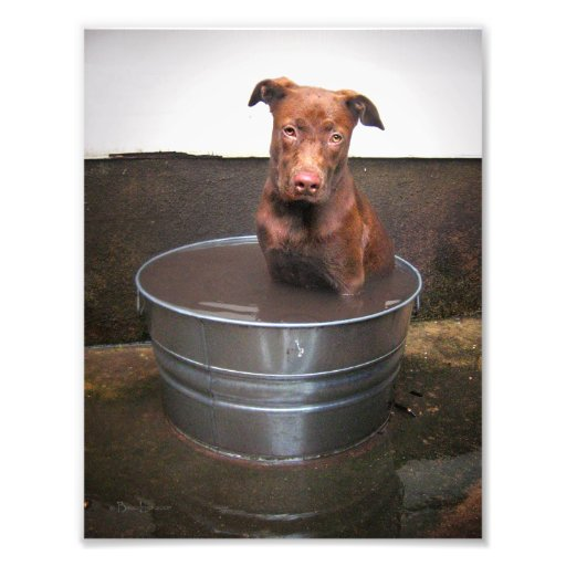 Chocolate Lab Pit Puppy in a Bucket Photo Print