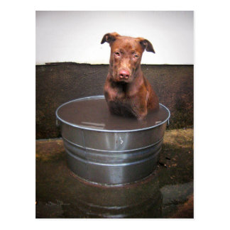 Chocolate Lab Pit Puppy in a Bucket Post Cards