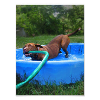 Chocolate Lab Pit Puppy in Wading Pool 2 Photo Print