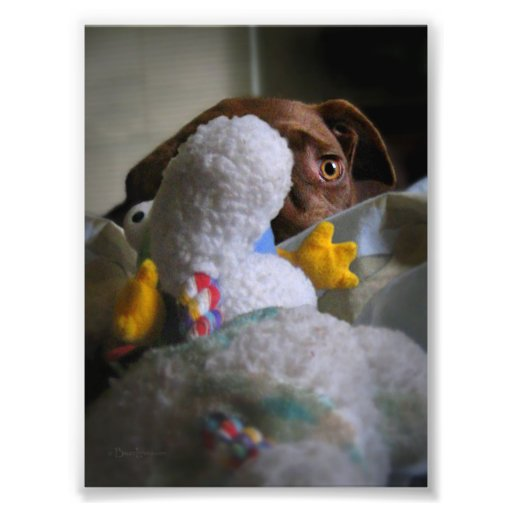 Chocolate Lab Pit Puppy Peeking Photographic Print