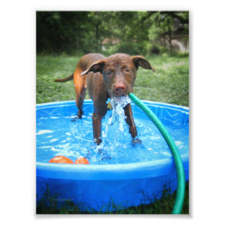 Chocolate Lab Pit Puppy Playing Photo Print