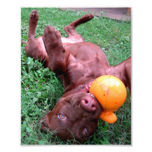 Chocolate Lab Pit Puppy Playing with Ball Photograph