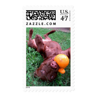 Chocolate Lab Pit Puppy Playing with Ball Postage