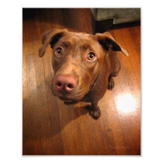 Chocolate Lab Pit Puppy Pleading Look Photo Print