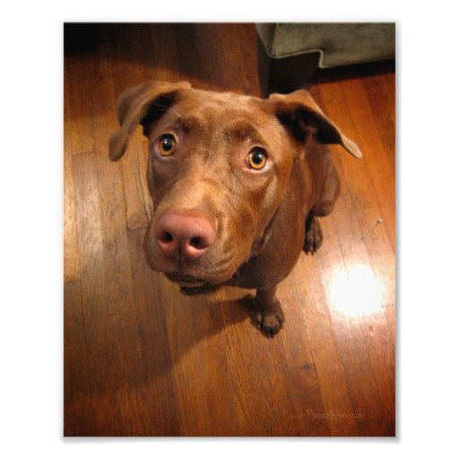 Chocolate Lab Pit Puppy Pleading Look Photo Art