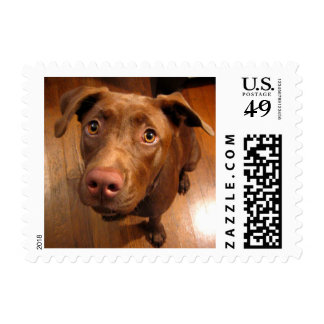 Chocolate Lab Pit Puppy Pleading Look Postage