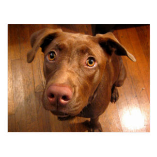Chocolate Lab Pit Puppy Pleading Look Postcards