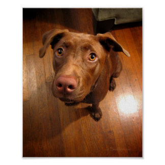 Chocolate Lab Pit Puppy Pleading Look Poster