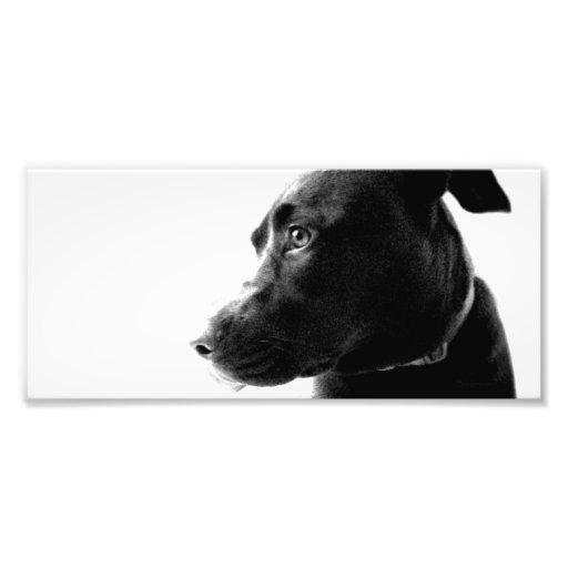 Chocolate Lab Pit Puppy Serene B&W Photo Art