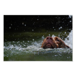 Chocolate Lab Pit Puppy Swimming 2 Poster