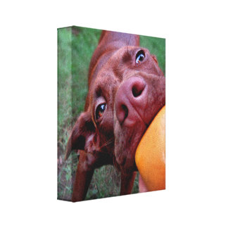 Chocolate Lab Pit Puppy Tugging Ball Canvas Print