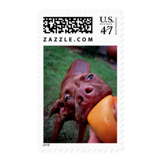 Chocolate Lab Pit Puppy Tugging Ball Postage Stamp