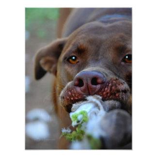 Chocolate Lab Pit Puppy Tugging Art Photo