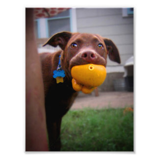 Chocolate Lab Pit Puppy with Ball Photographic Print