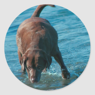 Chocolate Lab playing Classic Round Sticker
