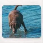 Chocolate Lab playing Mouse Pads