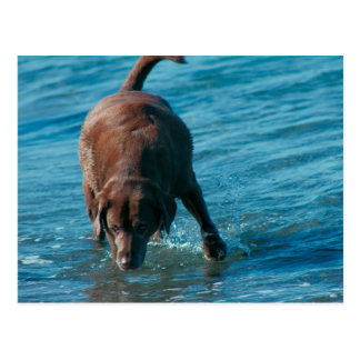 Chocolate Lab playing Postcard