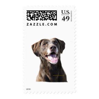 Chocolate Lab Postage Stamp