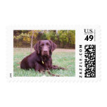 Chocolate Lab Postage Stamps